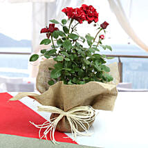 Potted Rose Plant: Flowering Plants