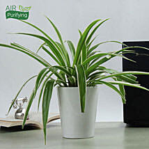Potted Spider Plant: Air Purifying Plants