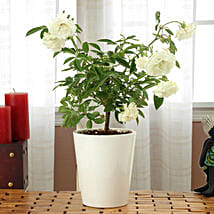 Potted White Rose Plant: Herbal and Kitchen Plants