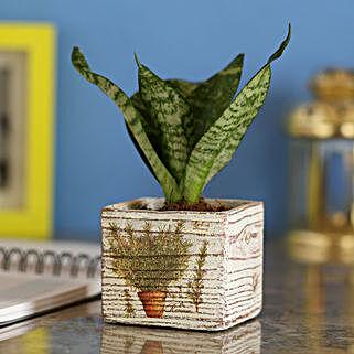 Sansevieria Hahnii In Designer White Pot: