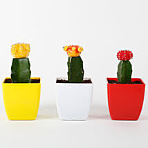 Set of 3 Grafted Cactus Plants: Cactuses & Succulents