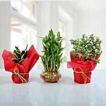 Set of 3 Prosperous Plants: