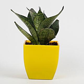 Snakeskin Sansevieria Plant in Imported Plastic Pot: Living Room Plants