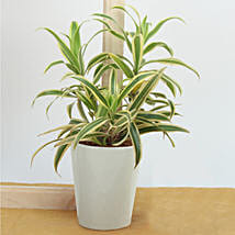 Song Of India Air Purifying Plant: Indoor Plants