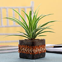Spider Plant in Square Glass Pot with Flower Lace: Indoor Plants