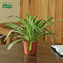 Spider Plant: Send Plants for House Warming