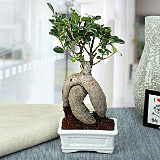 Splendid Ficus Ginseng Bonsai Plant: Plants for Husband