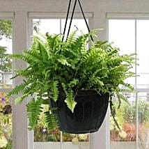 Stunning Boston Fern Plant: Air Purifying Plants