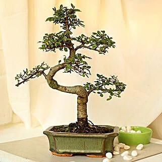 Thoughtful Elm S Shape Bonsai Plant: Bonsai Plants