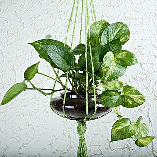Thriving Money Plant Terrarium: