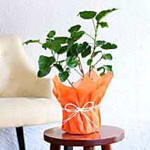 Tropical Hibiscus Plant: Plants to Delhi