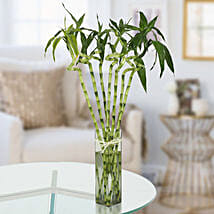 Twisted Lucky Bamboo Plant: Premium Plants