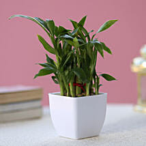 Two layer Bamboo Plant: Indoor Plants