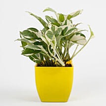 White Pothos Plant in Imported Plastic Pot: Exotic Plant Gifts