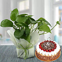 Money Plant and Blackforest Cake Combo: Plants in UAE