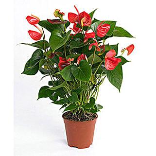 Red Anthurium Plant: Indoor Plants in UAE