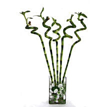 Spiral Bamboo: Send Bamboo Plants to UAE