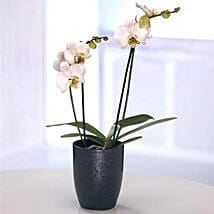 Orchid Plant: Plants to UK
