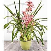Pink Cymbidium: Plant Delivery in UK