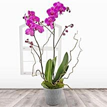 Pink Orchid Plant: Plant Delivery in UK