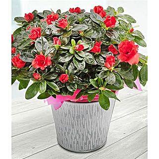 Red Azalea: Plants to UK