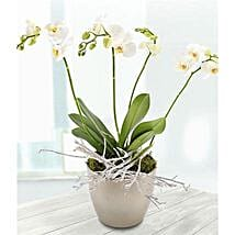 White Orchid: Plant Delivery in UK